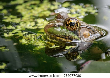 Bull Frog sitting in a pond