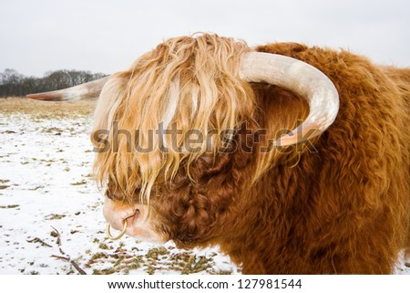 Bull, Highland Cow, with ring in nose - stock photo