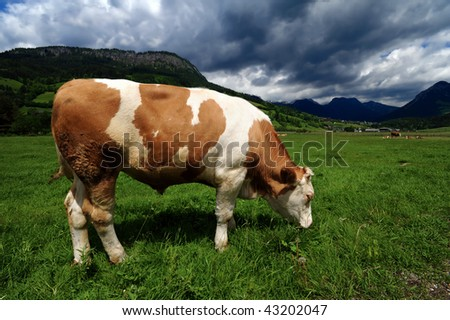 Bull in a grass field near Bad Mitterndorf, Austria - stock photo
