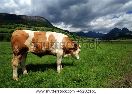 Bull in a grass filed near Bad Mitterndorf, Austria - stock photo