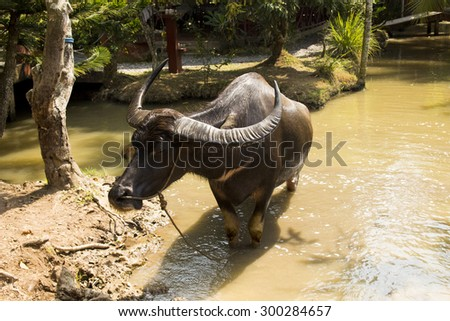 Bull in River, Vietnam