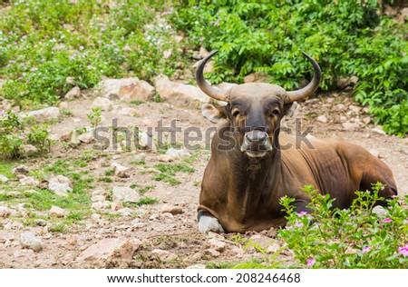 bull in the zoo - stock photo