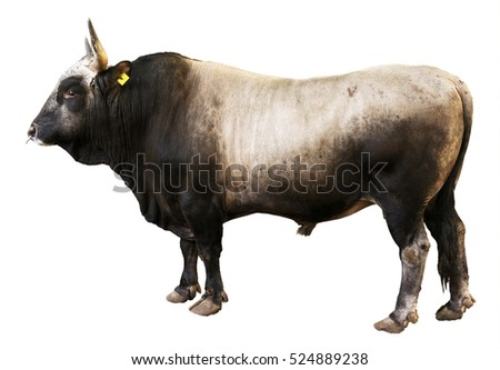 Bull isolated on white.