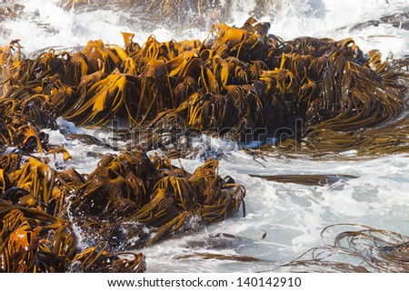 Bull Kelp or Durvillaea Antarctica blades floating in surf on ocean surface background texture pattern - stock photo