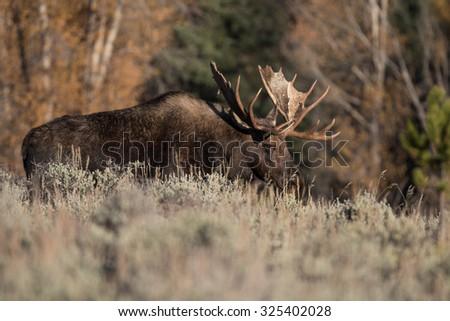 Bull Moose - stock photo