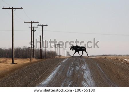 Bull moose crossing country road - stock photo