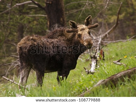 Bull Moose in June, Yellowstone National Park; antlers velvet-clad and just beginning to grow - stock photo