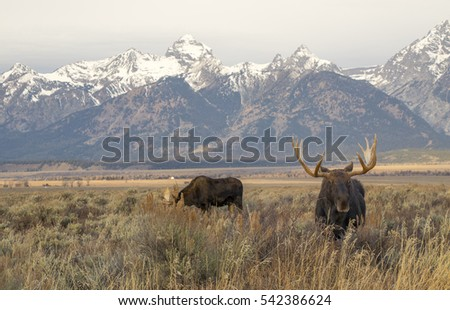 Bull moose in sagebrush meadow with mountains