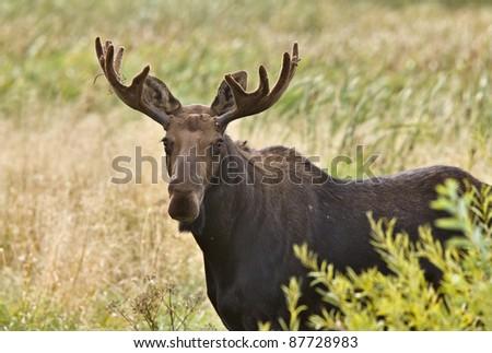 Bull Moose in Saskatchewan Prairie wheat bush close up - stock photo