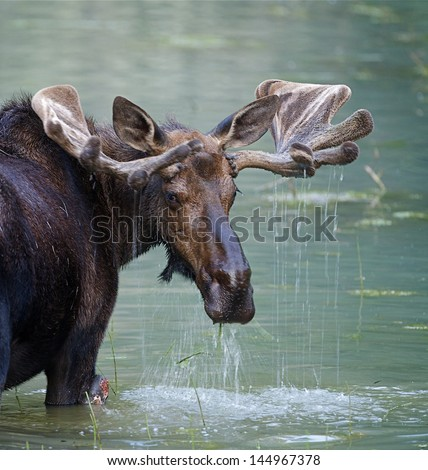 Bull Moose in water wetland pond lake river, Glacier National Park, Montana.  Trophy big game hunting season maine  - stock photo