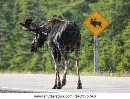 bull moose respecting road sign - stock photo