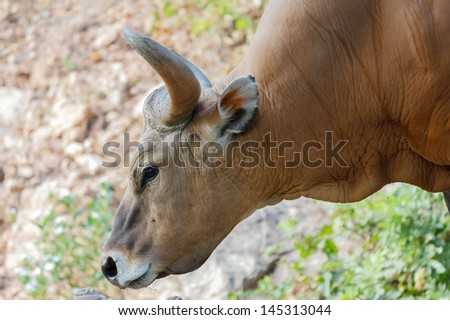 Bull or Banteng - stock photo