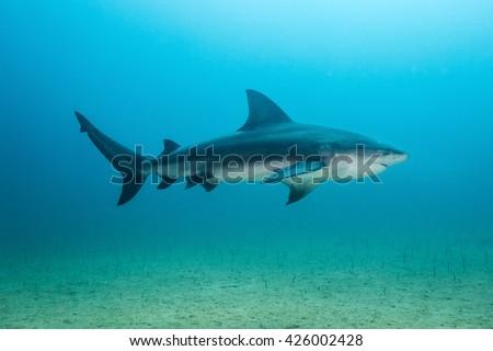 Bull shark at Cabo Pulmo National Park, Baja - stock photo