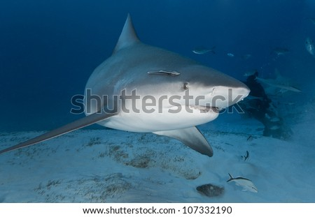Bull shark (Carcharhinus leucas) in deep water