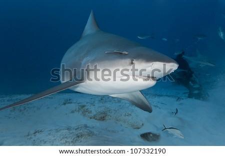 Bull shark (Carcharhinus leucas) in deep water - stock photo