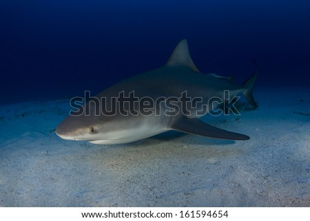 Bull Sharks in the Bahamas - stock photo