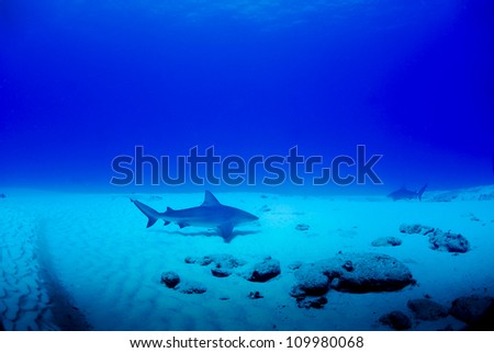 Bull sharks swimming over the reef looking for food - stock photo