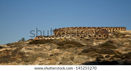 Bull Snake sunning itself in summer sun on rocks with blue sky background wildlife photography cold blooded reptile predator Pacific Northwest Wildlife and Nature - stock photo