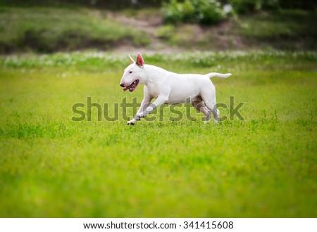 Bull Terrier Dog - stock photo