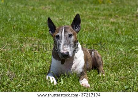 bull terrier on the green - stock photo