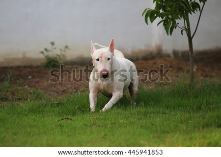 Bull Terrier playing in grass field, dog playing, dog activity, happy dog