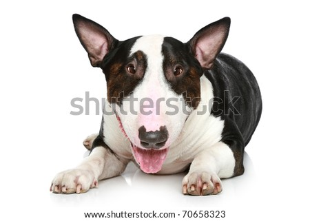 Bull Terrier resting on a white background