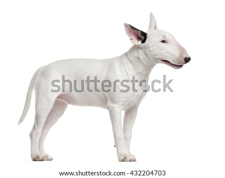 Bull Terrier standing up and looking away, isolated on white