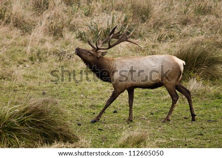 Bull Tule Elk (Cervus canadensis) in a wilderness at Point Reyes National Seashore, California. - stock photo