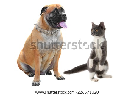 Bulldog and cat isolated on a white background