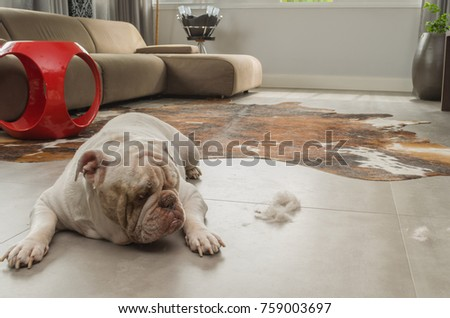 Bulldog dog looking at dirt from the ground, sweeping dog hairs from the floor.