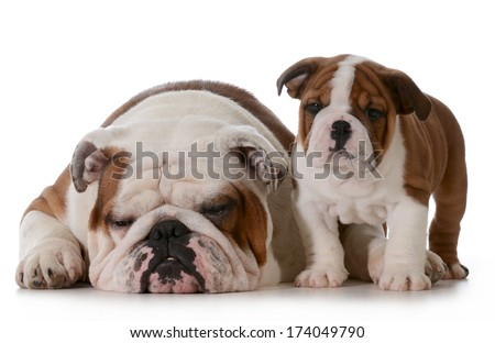 bulldog family - grandfather and grandson isolated on white background - puppy 10 weeks old - stock photo