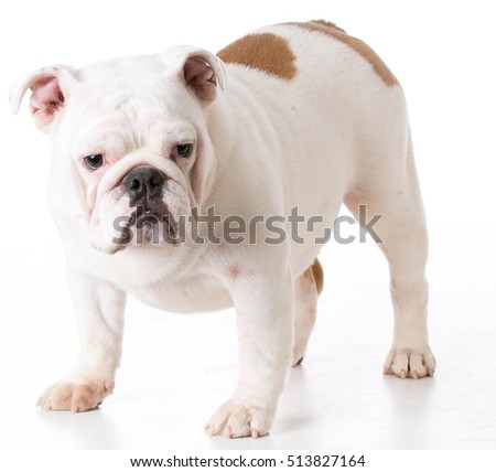bulldog female puppy standing on white background