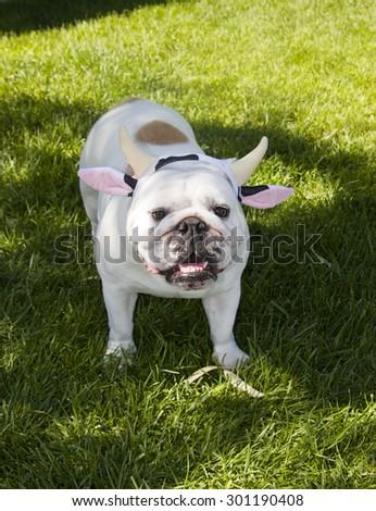 Bulldog in the grass posing in a headband for Halloween - stock photo