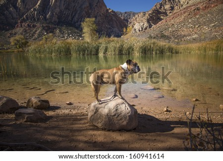 Bulldog on a rock at a desert pond posing for his picture - stock photo