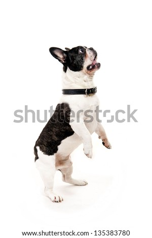 Bulldog on white background jump up - stock photo