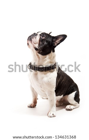 Bulldog on white background look up - stock photo
