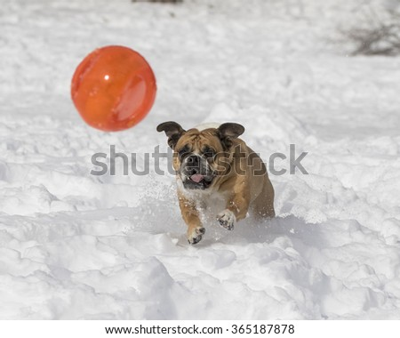 Bulldog playing with a big orange ball in the snow - stock photo