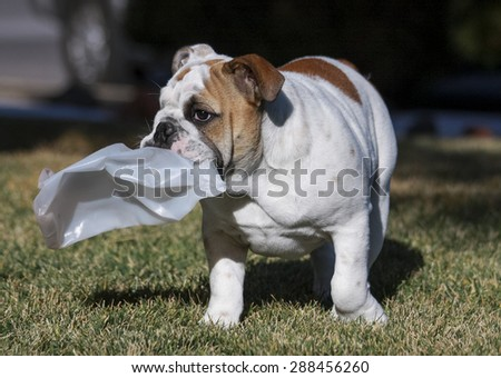 Bulldog puppy carrying around a smashed plastic bottle - stock photo