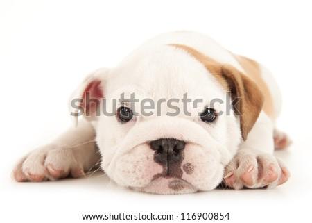Bulldog puppy lies on white background - stock photo