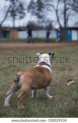 Bulldog puppy looking at children playing football - stock photo