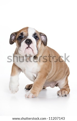 Bulldog puppy on white background