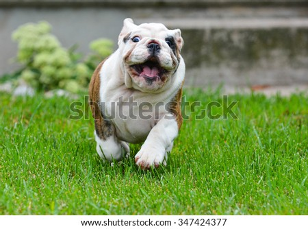 bulldog puppy outdoors running towards viewer, unfocused