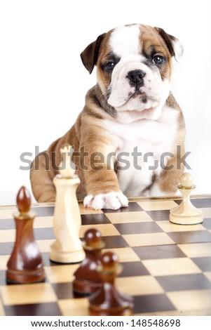 bulldog puppy playing chess - stock photo