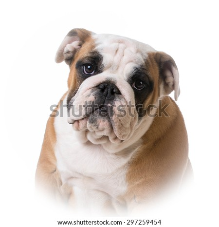 bulldog puppy portrait - 12 weeks old