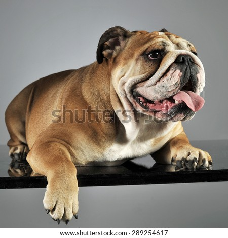 bulldog relaxing and having fun in a gray studio