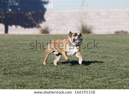 Bulldog running through the park and looking up for toy - stock photo