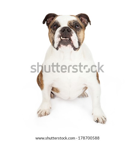 Bulldog sitting against a white backdrop while looking at the camera with an underbite - stock photo