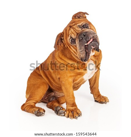 Bulldog sitting against a white backdrop with his head cocked off to the side and an underbite - stock photo