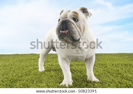 Bulldog standing - stock photo