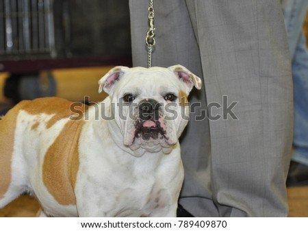 Bulldog waiting his turn for the obedience ring.